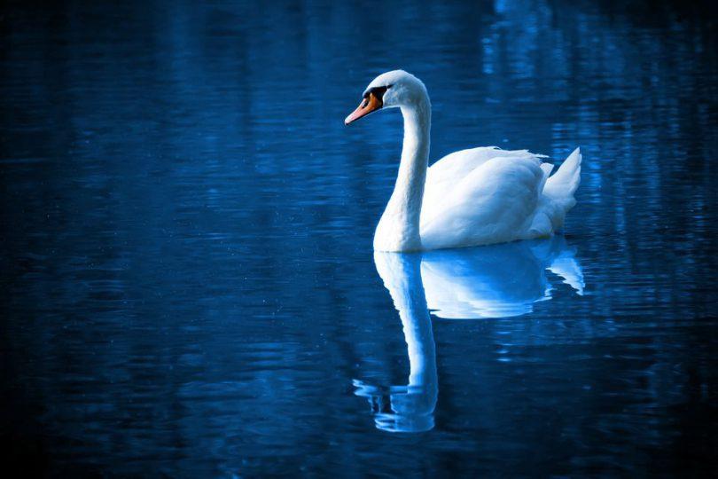 beautiful swan in lake