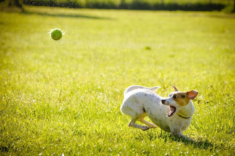 Dog playing with a ball
