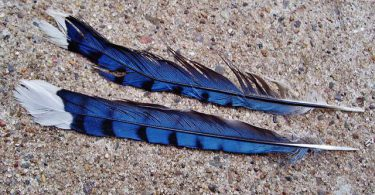blue jay bird feather stories by children