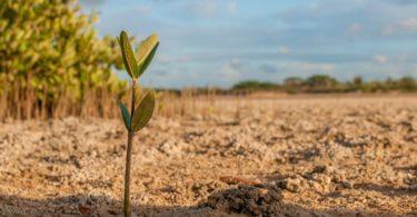 sapling mangrove dry earth
