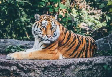 asian tiger forest