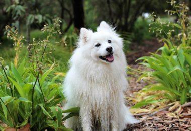 spitz pup cute dog pet