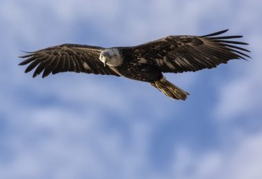 eagle soaring in sky